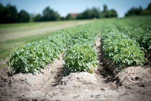 ¿Cuándo es el mejor momento para plantar patatas en Italia?