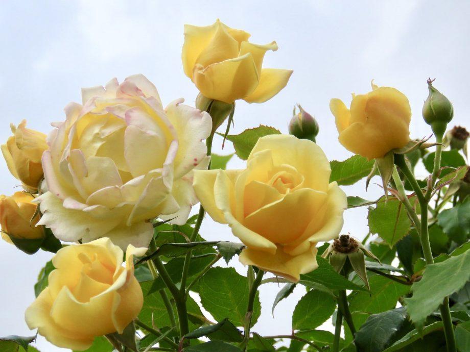 ¿Cuándo florecen las rosas en Inglaterra?