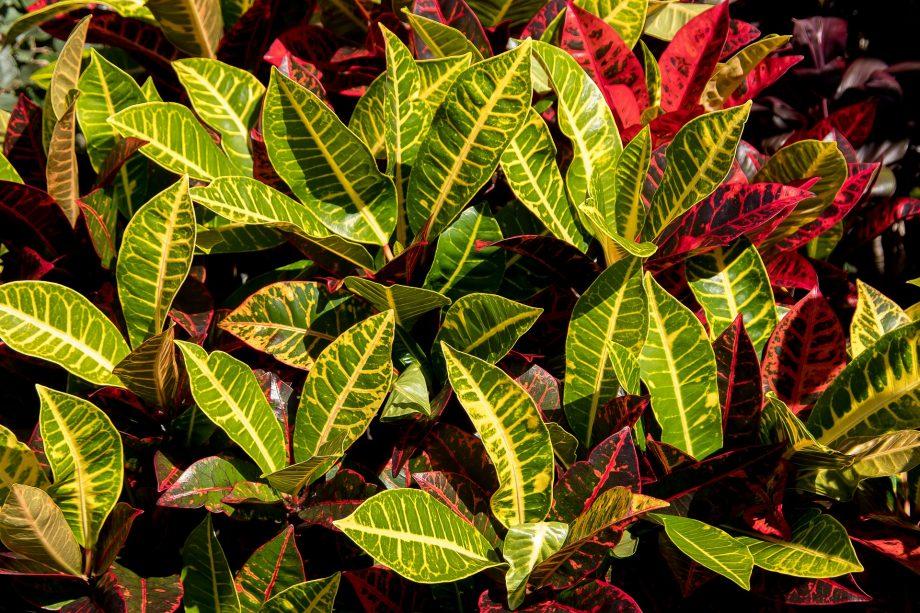 Cómo propagar Croton de 2 maneras fáciles